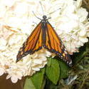 17491   Monarch Butterfly