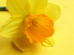 17357   Close up on a single fresh yellow spring daffodil