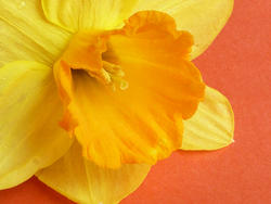 17359   Close up on the corona of a yellow spring daffodil