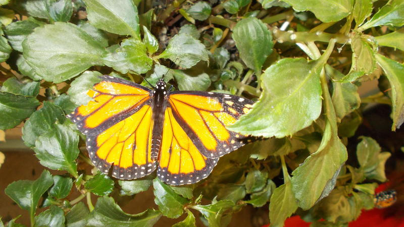 <p>A gorgeous monarch butterfly with its wings spread</p>