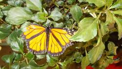 17487   Monarch Butterfly