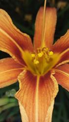 17498   A Beautifull Orange Tiger Lilie