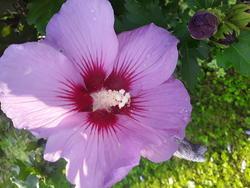 17558   pink hibiscus bloom