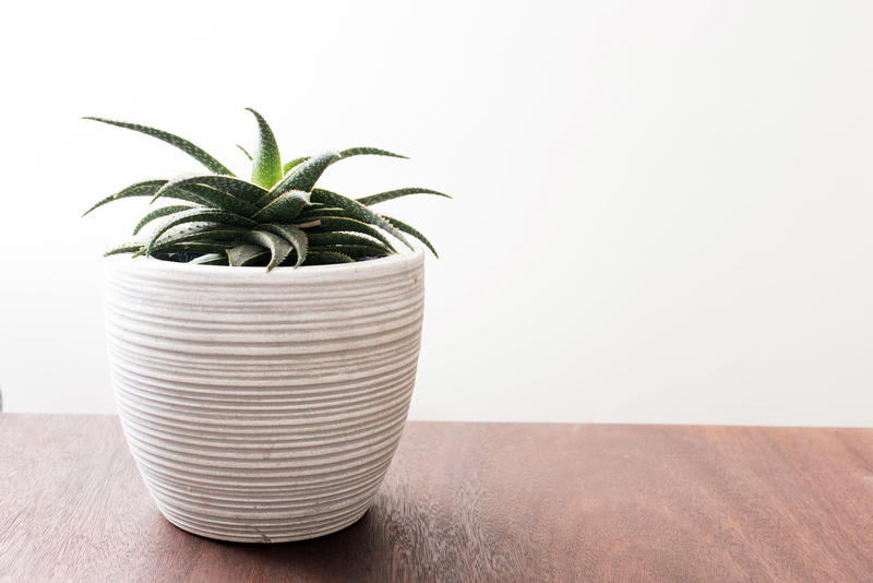Side view of green aloe plant in white pot on top of wooden surface with plain wall behind. Copy space.