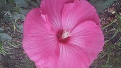 17539   Pink Flower