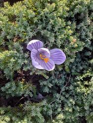 17513   Blooming Crocus