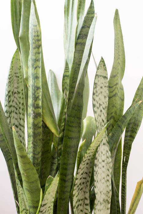 Ornamental variegated Sansevieria trifasciata leaves in close up over a white background, also called Mother in Laws Tongue