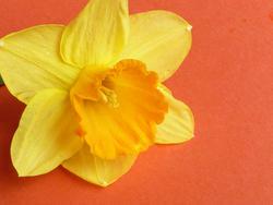 17365   Single cut yellow daffodil on an orange background