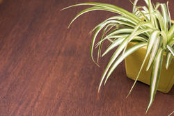 17393   Ornamental variegated leaves of a spider plant