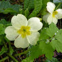 17366   White primrose flower in close up