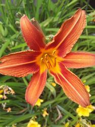17492   A Beautifull Orange Tiger Lilie