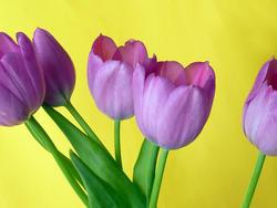 17368   Bunch of fresh purple tulips on yellow background