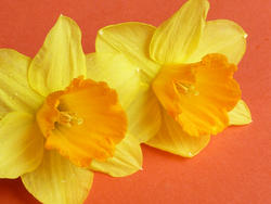 17372   Two colorful yellow daffodil or narcissus flowers