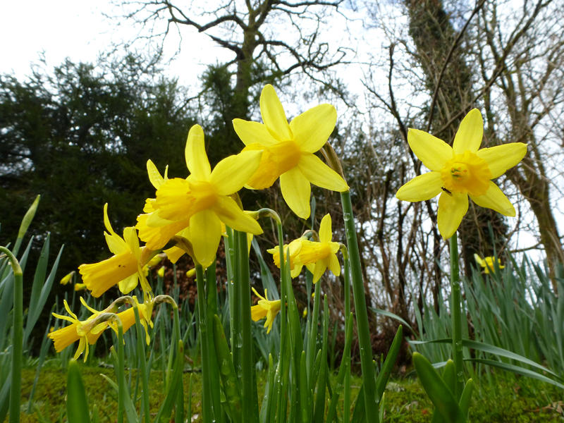 Wild-growing yellow daffodil flowers blooming in woodland in springtime from low angle. Natural background for Easter