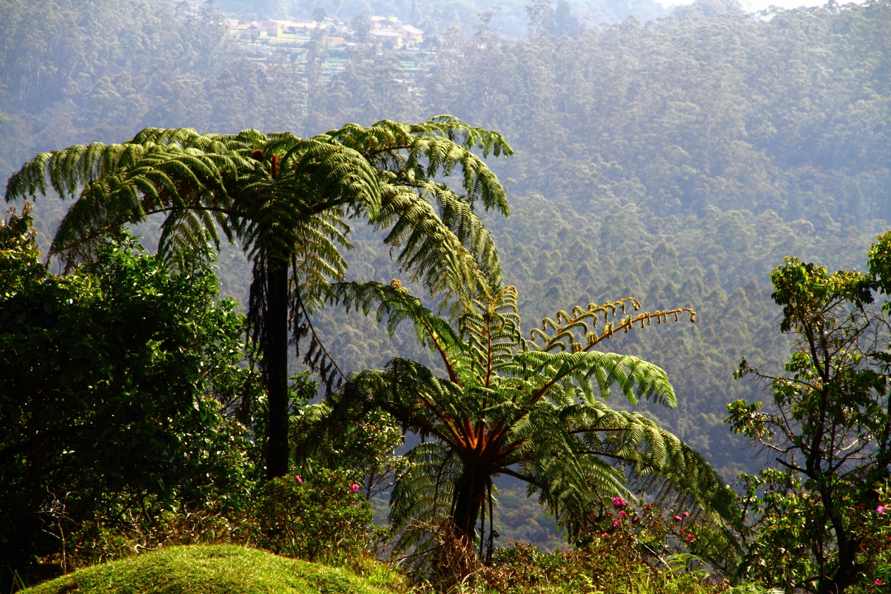 free stock photo 5725 tree ferns freeimageslive