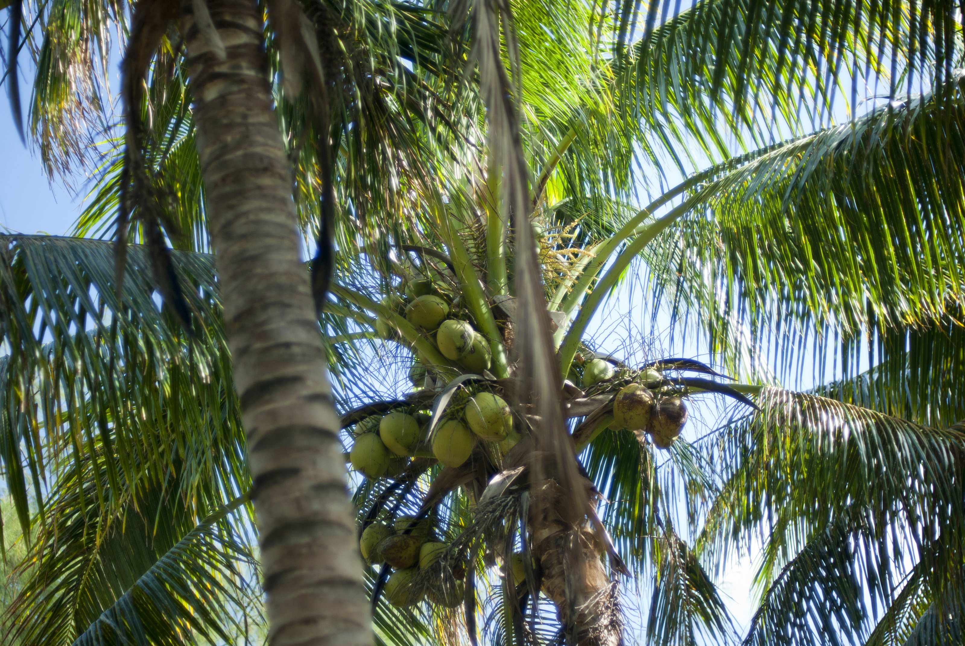 Free Stock Photo 6327 Coconuts Growing In A Palm Tree Freeimageslive
